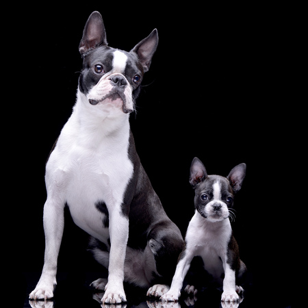 Studio shot of two adorable Boston Terrier standing on black background.