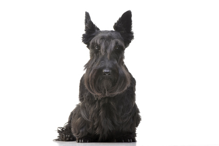 Studio shot of an adorable Scottish terrier sitting on white background.