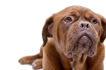 Portrait of an adorable Dogue de Bordeaux - isolated on white background.