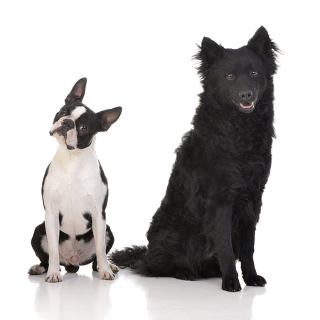 Studio shot of an adorable Boston Terrier and a Mudi sitting on white background.