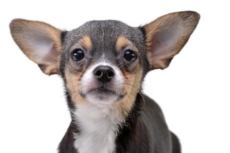 Portret van een schattige Chihuahua - studio opname, geïsoleerd op een witte achtergrond.