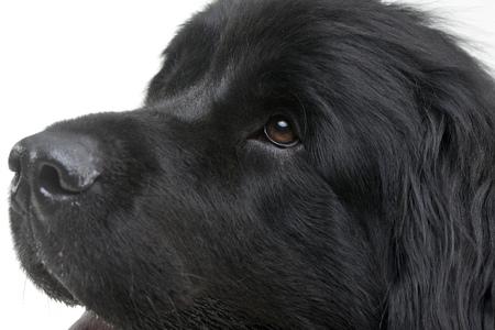 Portrait of an adorable Newfoundland dog - isolated on white background.