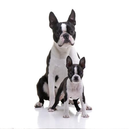 Studio shot of two adorable Boston Terrier sitting on white background. Banco de Imagens