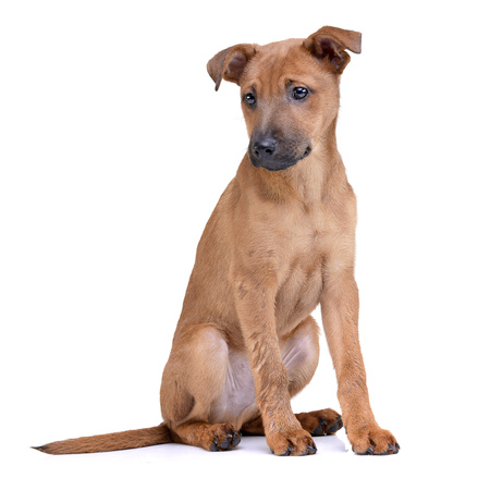 Studio shot of an adorable mixed breed puppy sitting on white background.