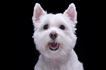 Portrait of an adorable West Highland White Terrier - isolated on black background.