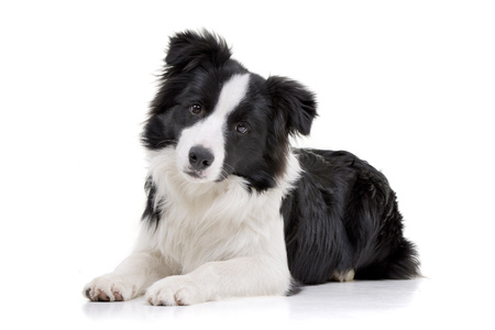 Studio shot of an adorable Border Collie lying on white background. Stock Photo