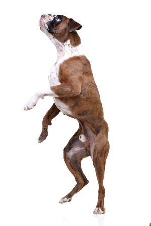 Studio shot of an adorable Boxer standing on hind legs - isolated on white background.