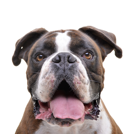 Portrait of an adorable Boxer - isolated on white background.