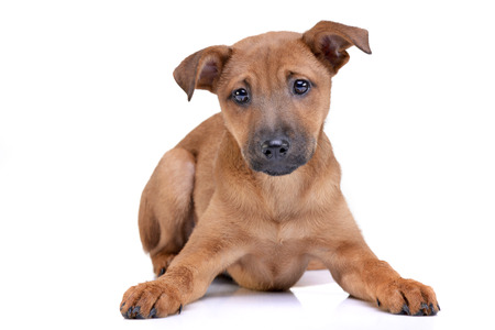 Studio shot of an adorable mixed breed puppy lying on white background.