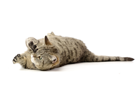 Studio shot of an adorable tabby cat playing on white background.