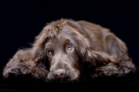 Studio shot of an adorable English Cocker Spaniel lying on black background.