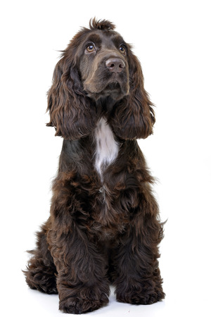 Studio shot of an adorable English Cocker Spaniel sitting on white background. Standard-Bild