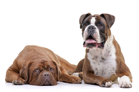 Studio shot of an adorable Dogue de Bordeaux and a Boxer lying on white background. Standard-Bild