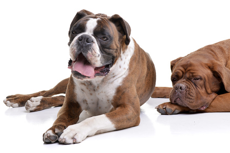 Studio shot of an adorable Boxer and a Dogue de Bordeaux lying on white background.