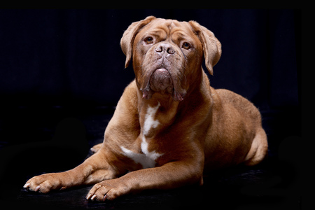 Studio shot of an adorable Dogue de Bordeaux lying on black background.