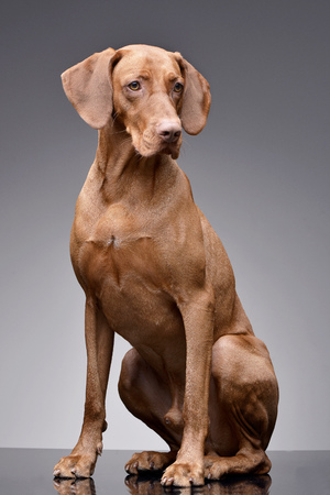 Studio shot of an adorable hungarian vizsla (magyar vizsla) sitting on grey background.