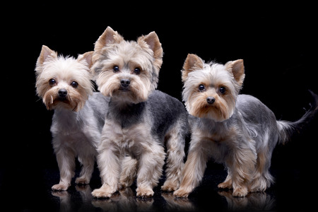 Studio shot of three adorable Yorkshire Terrier standing on black background.