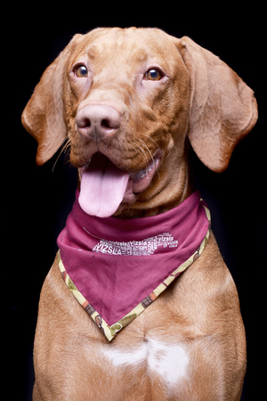 Studio shot of an adorable Hungarian Vizsla with purple scarf - isolated on black background. Standard-Bild
