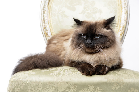 Studio shot of an adorable persian cat sitting on a vintage chair - isolated on white. Standard-Bild