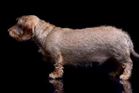 Studio shot of an adorable wire haired Dachshund standing on black background. Standard-Bild