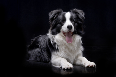 Studio shot of an adorable Border Collie lying on black background.