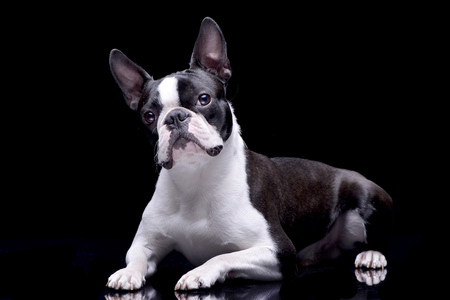 Studio shot of an adorable Boston Terrier lying on black background.