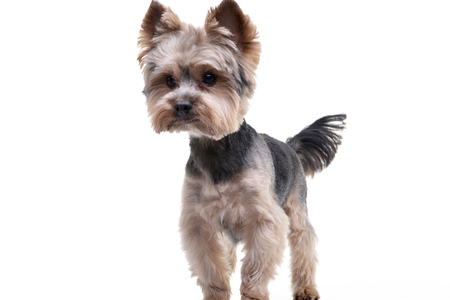 Studio shot of an adorable Yorkshire Terrier standing on white background.