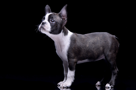 Studio shot of an adorable Boston Terrier standing on black background.