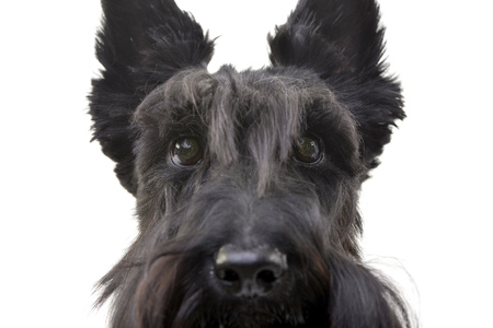 Portrait of an adorable Scottish terrier - isolated on white background.