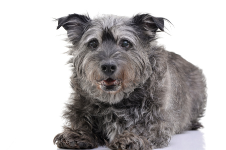 Studio shot of an adorable mixed breed dog lying on white background. Standard-Bild