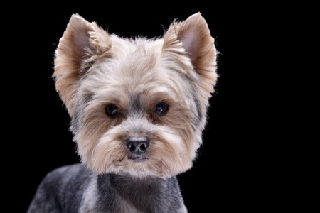 Portrait of an adorable Yorkshire Terrier - isolated on black background.