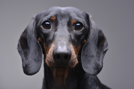 Portrait of an adorable Dachshund - isolated on grey background.