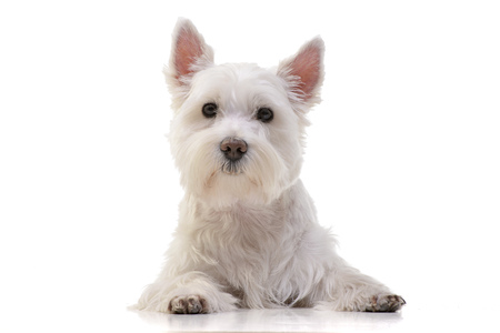 Studio shot of an adorable West Highland White Terrier lying on white background.