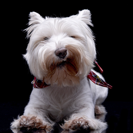 Studio shot of an adorable West Highland White Terrier lying on black background.
