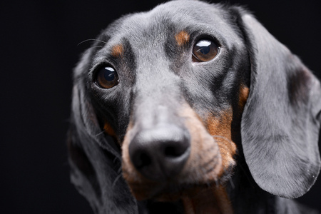 Portrait of an adorable Dachshund - isolated on black background. Standard-Bild