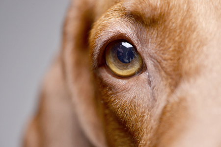 Close portrait of an adorable hungarian vizsla (magyar vizsla) - isolated on grey background.