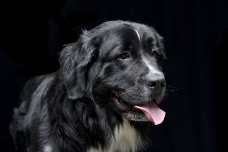 Portrait of an adorable Newfoundland dog - isolated on black background.