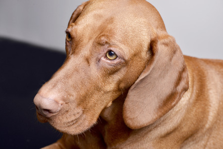 Portrait of an adorable hungarian vizsla (magyar vizsla) - isolated on grey background.