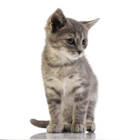 Foto de estudio de un adorable gatito doméstico de pie sobre fondo blanco.