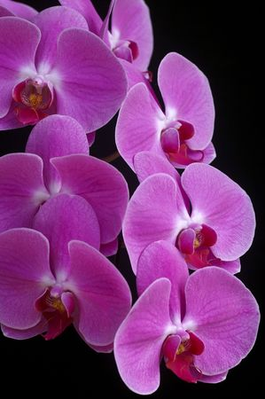 phalaenopsis isolated on black photo