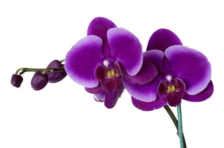 orchid phalaenopsis isolated on white