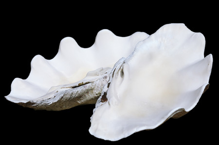 almeja: vieja concha de almeja