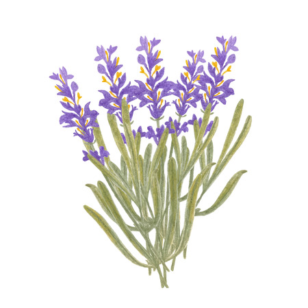 provence: pencil sketch illustration of lavender of Provence