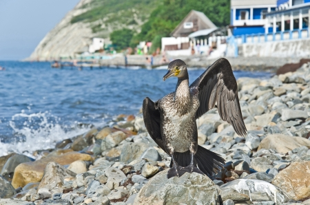 membranes: The bird a cormorant, after hours-long diving under water, has a rest and to dry ashore
