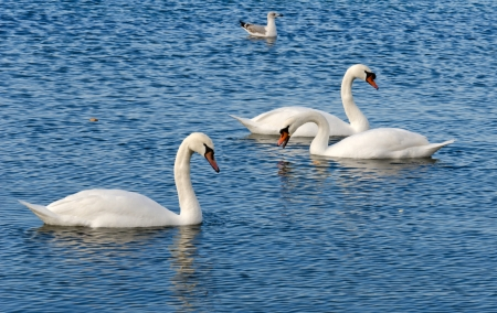 gracefully: Three swans gracefully float on a sea smooth surface Stock Photo