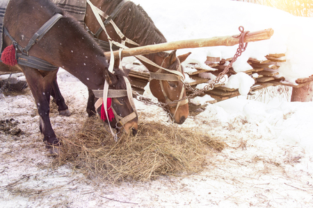 Horses in harness eat hay. Horses eating hay in a snow covered paddock in winter Standard-Bild - 117765127