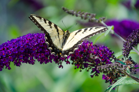 Gorgeous light-yellow butterfly on a flower