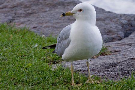 Seagull aan de oever van de Ottawa rivier