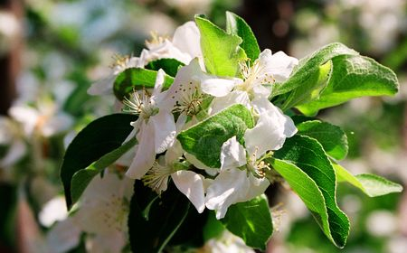This photo shows a flower of apple-tree. Stock Photo - 6137328