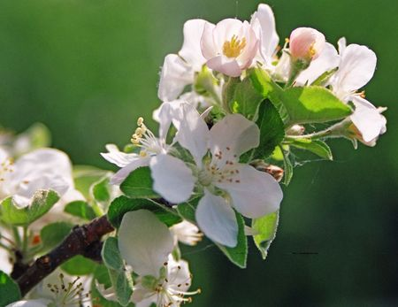 This photo shows a flower of apple-tree. Stock Photo - 6127301